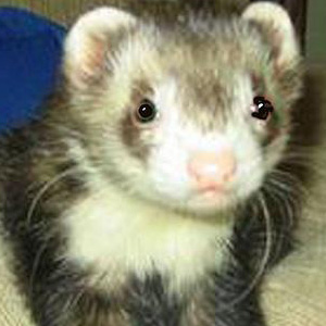 Your Pet Loss Stories 'Chinook the Ferret: My Last Day With