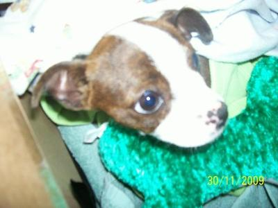 Patches as a puppy